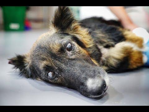 Blinde hond, zwanger en gebroken poten