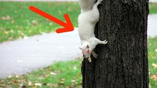 THE LEGEND OF THE WHITE SQUIRREL