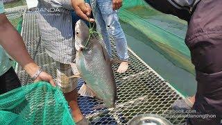 Cần Thủ Quần Với 2 Con Cá Tra khổng lồ ở Thủy Điện Trị An