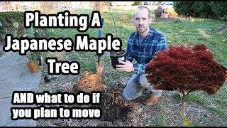 How to Prepare/Plant a Tree (Ornamental Japanese Maple)