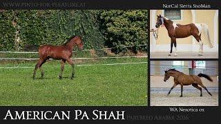 Video von American Pa Shah