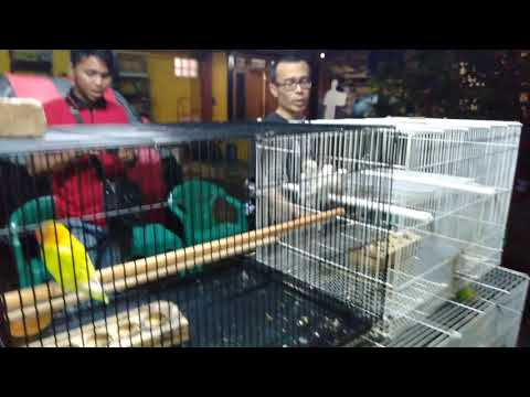 mp4 Jual Lovebird Biola Tangerang, download Jual Lovebird Biola Tangerang video klip Jual Lovebird Biola Tangerang
