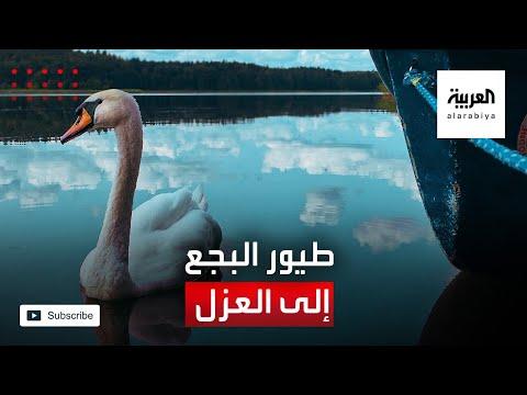 العرب اليوم - شاهد: العزل يطال طيور البجع في بلجيكا