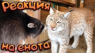 THE RACCOON IS PETTING A LYNX