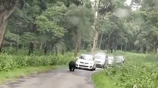 Wild bear walking on the road at Wayanad