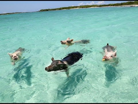 Have You Ever Heard of Pig Island?