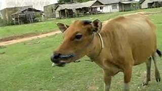 preview picture of video 'Sapi Pemakan Segala Pantai Swarangan'