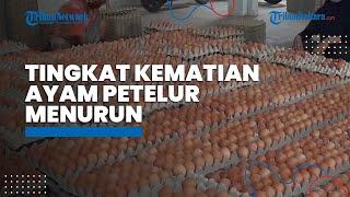 Studi Terbaru: Tingkat kematian Ayam Petelur di Kandang Bebas Baterai Menurun