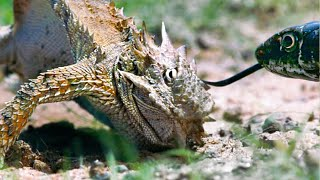 Lizard Fends Off Predators To Protect Her Eggs | Life | BBC Earth