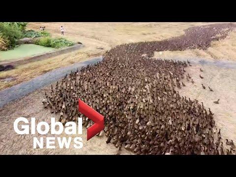 Ταϊλάνδη: Έβαλαν 10.000 πάπιες να καθαρίσουν χωράφι