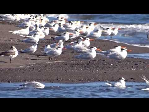 Clip Aves de El Salvador