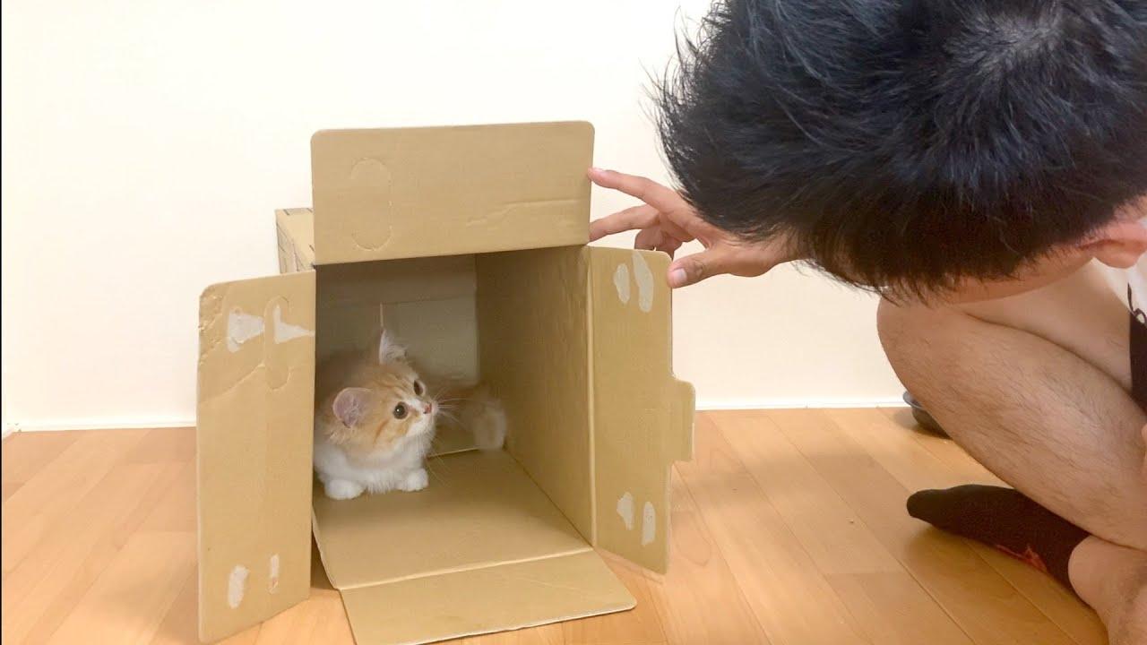 子猫がダンボールから出てきません【マンチカン】