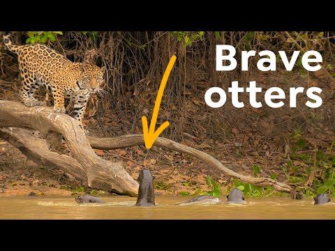 These Giant South American Otters Have No Fear!