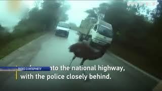 Поліцейські затримали страуса за порушення правил дорожнього руху (відео)
