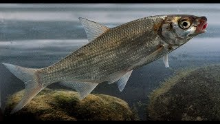 Ловля рыбца на шешупе осенью