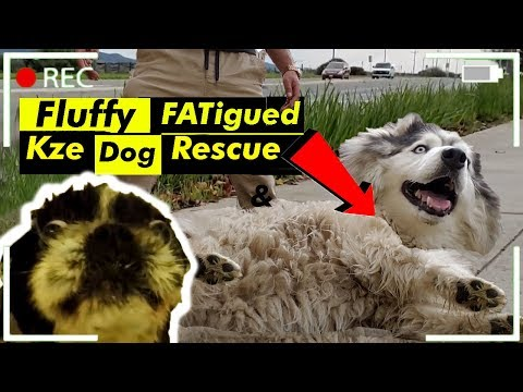 Rescuing Stray Dogs From Traffic (Exhausted Siberain Husky Barely Makes It)