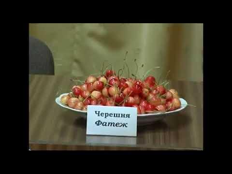 Сорта вишни и черешни для Подмосковья и Центрального региона России