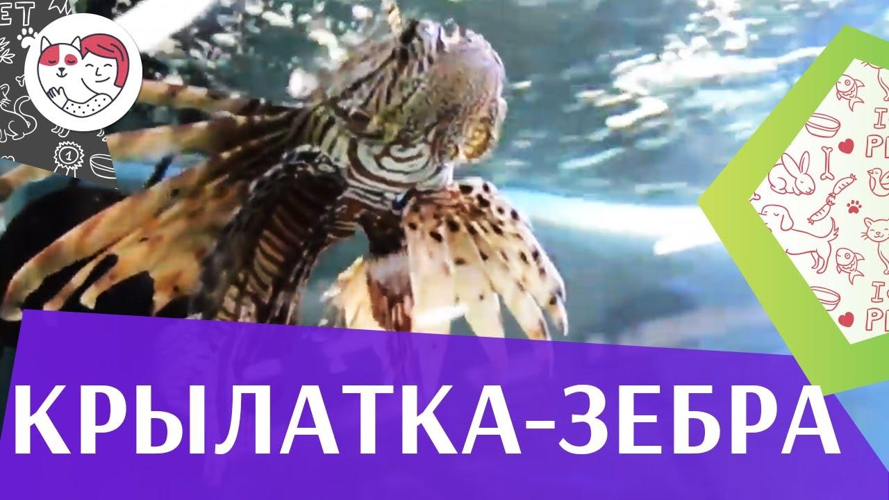 Крылатка зебра чернополосая Содержание на ilikepet