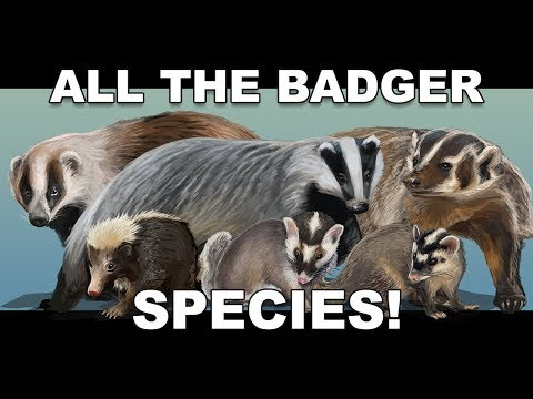 , title : 'All the Badger species!