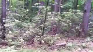 Pennsylvania mountain laurel in full bloom
