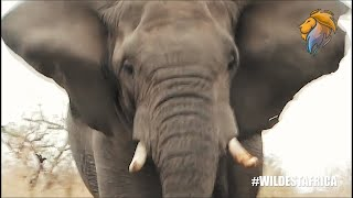 Epic Elephant Attacks and Chases Compilation   Wildest Africa – Epic Wildlife Videos