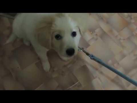 Повод и ошейник для щенка с Aliexpress // Реакция собаки // Пес недоволен