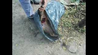 preview picture of video 'caza de chanchos  en Catamarca Argentina'