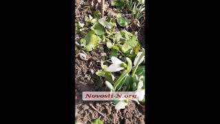 В Николаеве в конце февраля расцвели подснежники