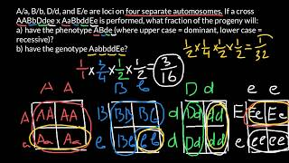 How To Find Probability Of Genotype Or Phenotype In A Progeny