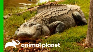 Giant Alligator Attacks Pets In Residential Area | Lone Star Law by Animal Planet