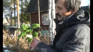 Обрезка кустов черной смородины осенью
