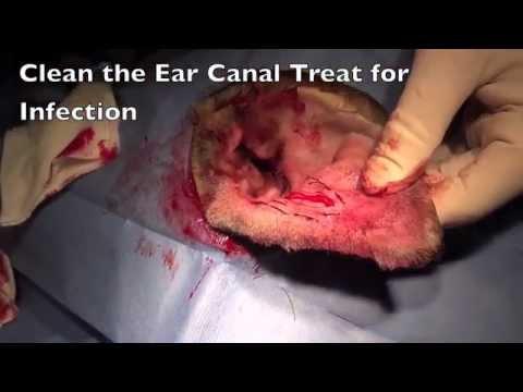 Canine Hematoma Ear Surgery
