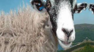 """AC/DC  """"Dirty Deeds""""  Done with Sheep......FUNNY."""