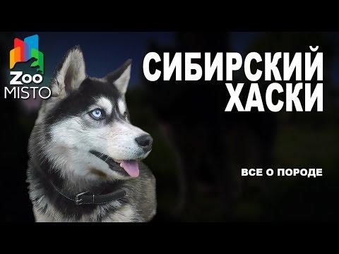 , title : 'Сибирский Хаски - Все о породе собаки | Собака породы - Сибирский Хаски