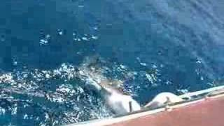 preview picture of video 'Shark Fishing Bahamas 2007'