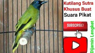 Suara Asli Alam Liar Pikat Burung Kutilang Sutra