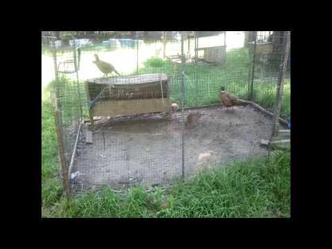 Video Jumbo Ringneck Pheasants Courting!