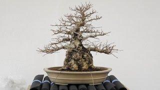 Rescue A Dying Bonsai Tree