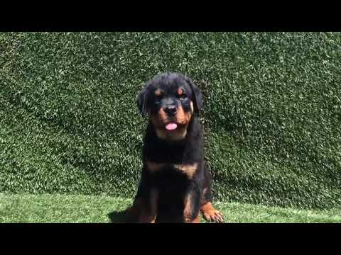 AKC Male Rottweiler Puppies