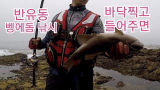 Opaleye rock fishing 100