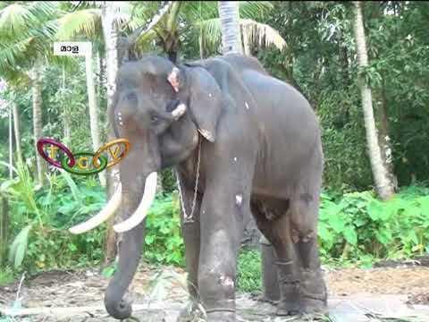 ELEPHANT FEAST - AANA OOTTU ആന ഊട്ട്