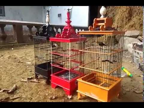 Video Tips perawatan burung pleci