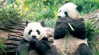 Giant Pandas Are Now At The Calgary Zoo