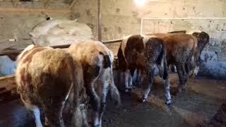 Откорм бычков и стойло