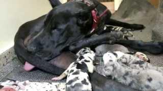 12 Great dane puppies!