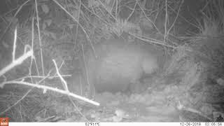 Badger removing stone from sett
