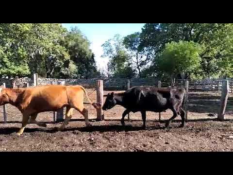Imagen 35 Vaca en Artigas