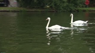 Queen's swan found killed and barbecued
