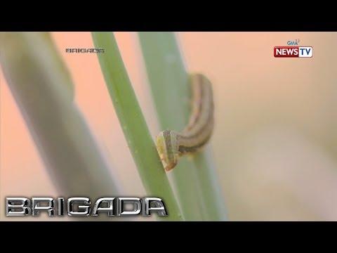 Ang katawan ay maaaring makaapekto sa mga parasito