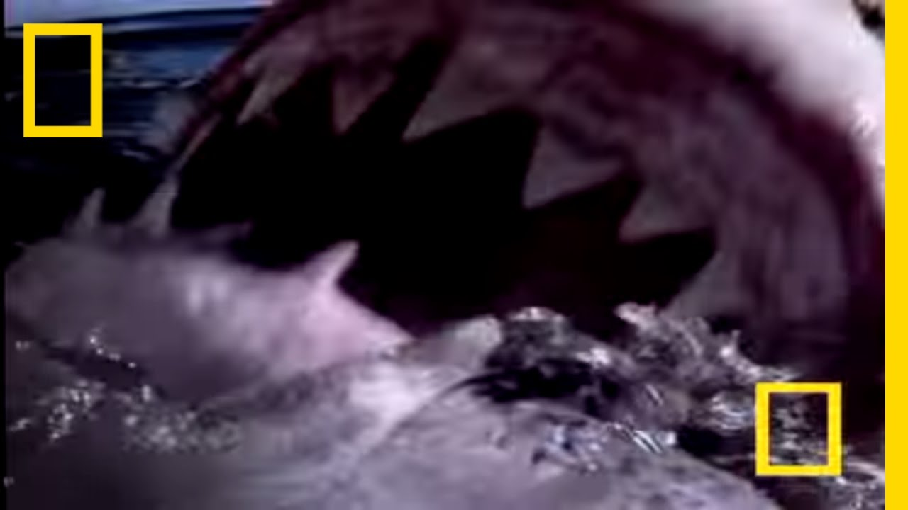 Great White Shark | National Geographic thumbnail